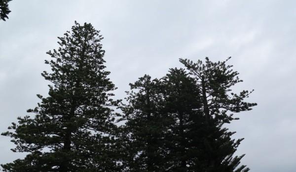 Top falls off Bow Street Norfolk Pine